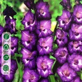 Bulbos de gladiolo Macarena 10 ud