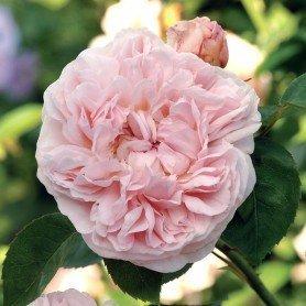 Rosa St Swithun T