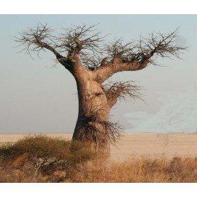 Semillas de Adansonia Digitata (Baobab) 10 s