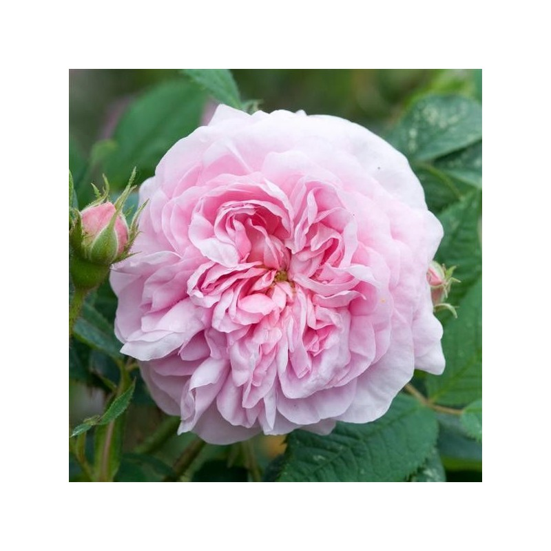 Rosa Queen of Denmark