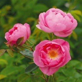 Rosa Skylark
