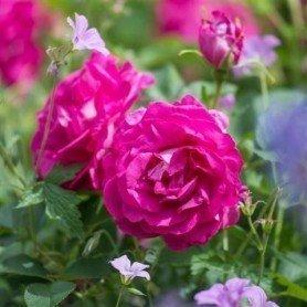 Rosa Wild Edric