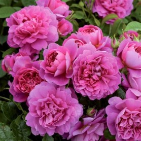 Rosa Princess Anne
