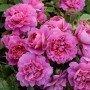 Rosa Princess Anne