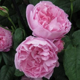 Rosa Mary Rose