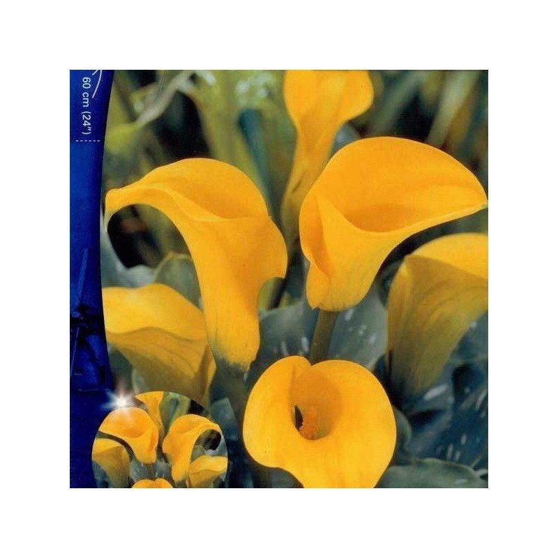 Cala Florex Gold 1 ud