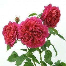 Rosa Lady of Megginch