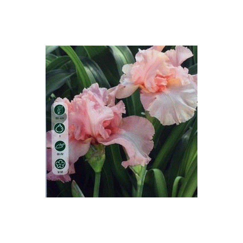 Iris Germanica pink 1 ud