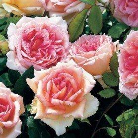 Rosa Janet