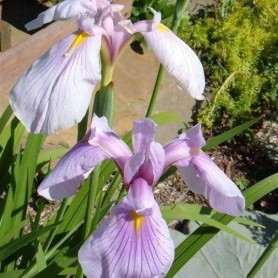 Iris ensata Darling
