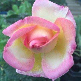 Rosa Princesa de Monaco