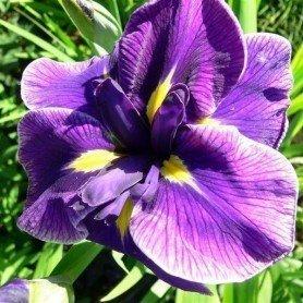 Iris ensata Crystal Halo