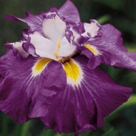 Iris ensata Shogun