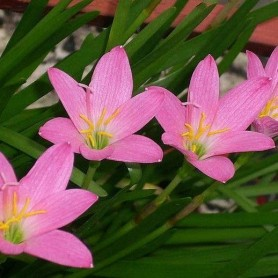 Zephyranthus robustus lila 10 ud