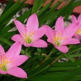 Zephyranthus robustus lila