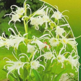 Hymenocallis festalis 2 ud