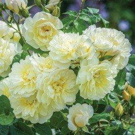 Rosa Imogen