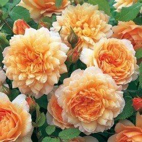 Rosa Grace