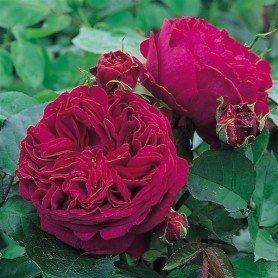 Rosa Falstaff T