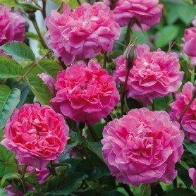 Rosa Englands Rose