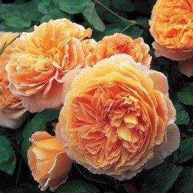 Rosa Crown Princess Margareta T