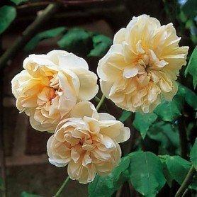 Rosa Desprez a fleur Jaune