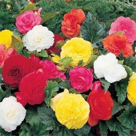 Begonia doble mix