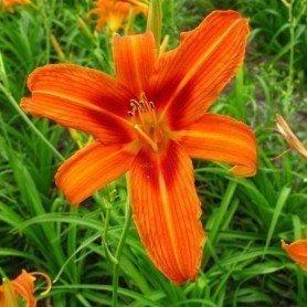 Hemerocallis naranja Rajah 1 ud