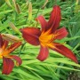 Hemerocallis rojo Sammy Russel 1 ud