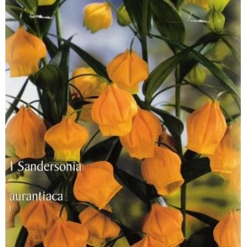 Sandersonia aurantiaca 1 ud