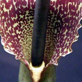 Sauromantum venosum 1 ud