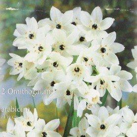 Ornithogalum arabicum 4 ud