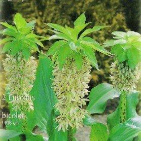 Eucomis Bicolor 4 ud