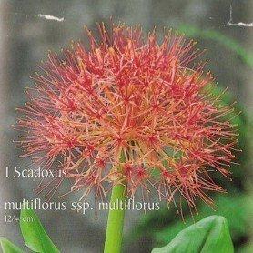 Scadoxus multiflorus ssp 2 ud
