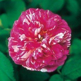 Rosa Camaieux rd