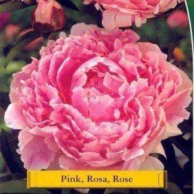 Peonia rosa 1 ud