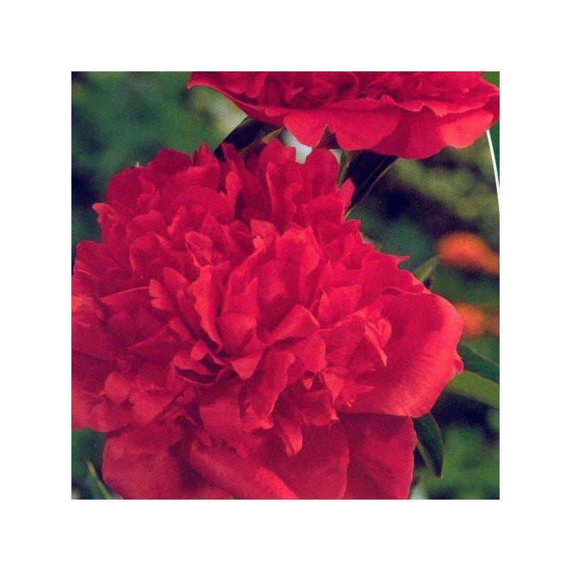 Peonia roja 1 ud