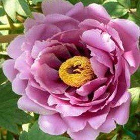 Peonia suffruticosa Lavender