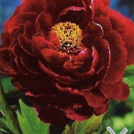 Paeonia suffruticosa roja