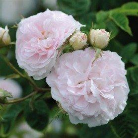 Rosa Felicite Parmentier rd