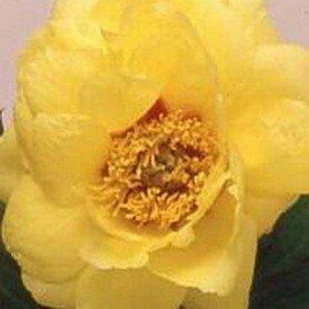Peonia suffruticosa amarilla