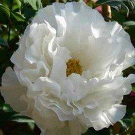 Paeonia suffruticosa Blanca