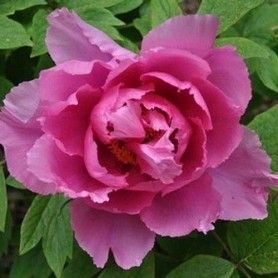 Peonia Suffructicosa Lu He Hong