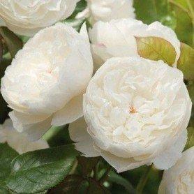 Rosa William and Catherine