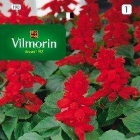 Salvia enana roja