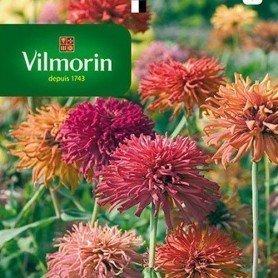 Zinnia flor de crisantemo