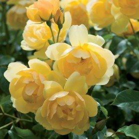 Rosa Austin´s Buttercup