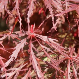 Acer palmatum Crimson Princess