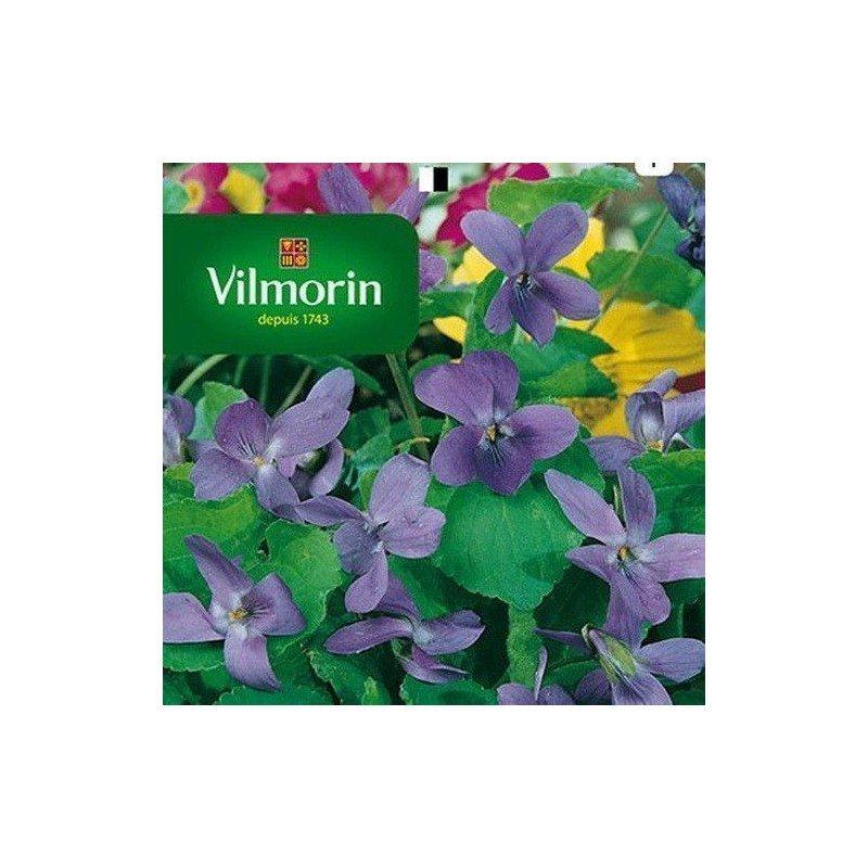 Semillas de Violeta 4 Estaciones Olorosa