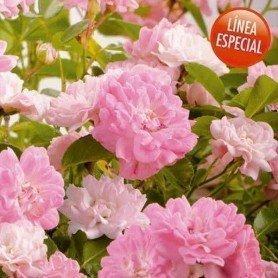 Rosa multiflora Garden party